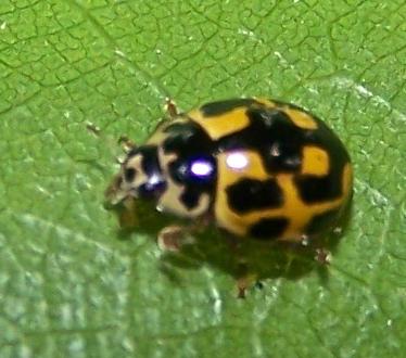 Propylea quatuordecimpunctata - female
