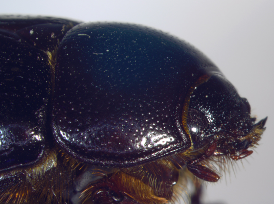 Scarabaeidae - pronotum - Tomarus relictus