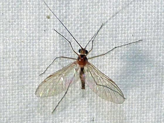 Macrocera  - Macrocera - male