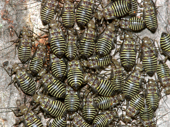 Bark Lice nymphs - Cerastipsocus venosus