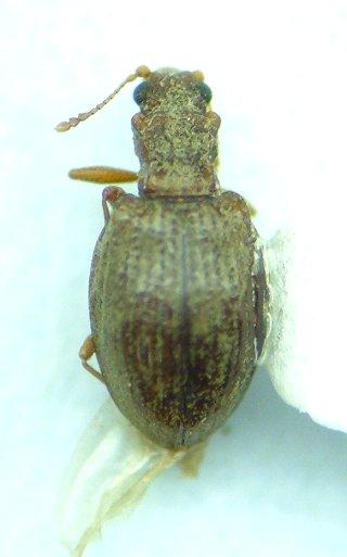 Latriid - Stephostethus liratus