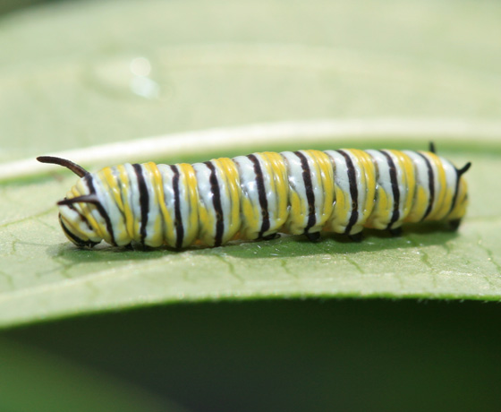 Monarch caterpillar - Danaus plexippus