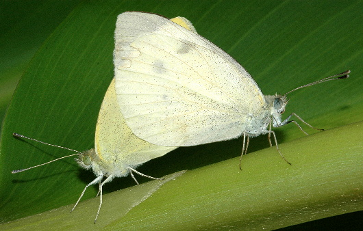 White Cabbage Butterfly Mating - Pieris rapae - male - female
