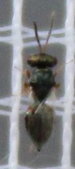 Agraulis vanillae - Gulf Fritillary Cat. to Wasp