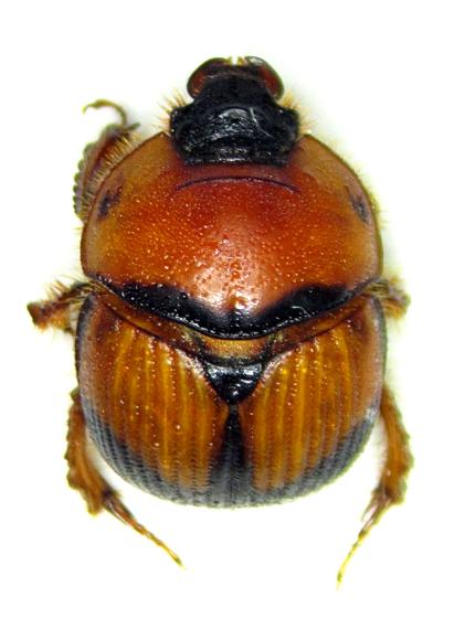 Bolbocerosoma bruneri - female