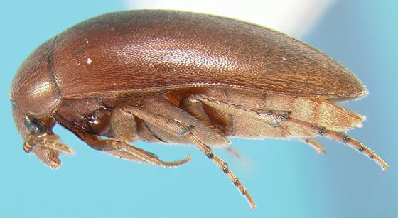 Eucinetid - Nycteus punctulatus