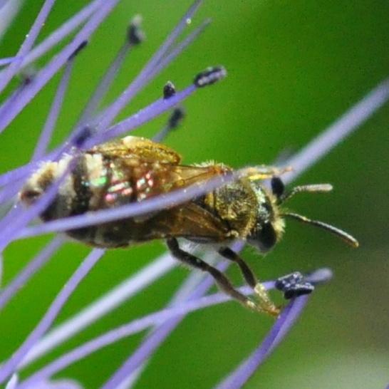 Tiny blue-green bee (Halictus sp.) on lacy phacelia - Halictus - female