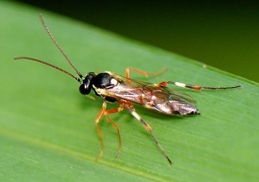 UID FLY - Diplazon laetatorius - female