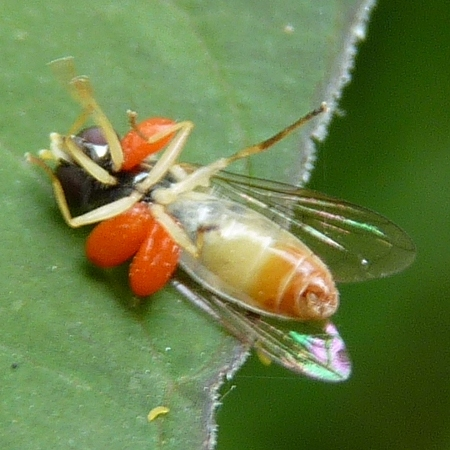 Fly with red parasites