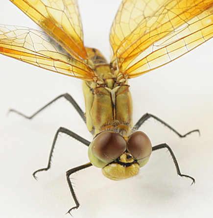 Dragonfly -? - Sympetrum semicinctum