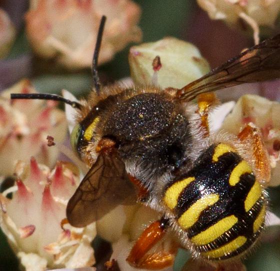 Green-eyed Bee - Anthidium oblongatum