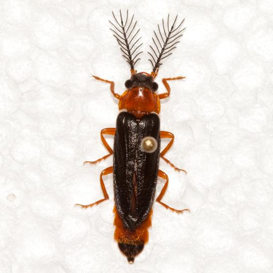 Glowworm beetle - Zarhipis integripennis - male