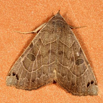 moth - Isogona scindens