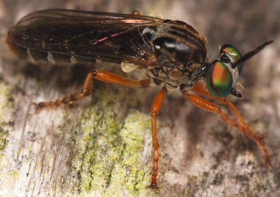 robber fly - Taracticus octopunctatus