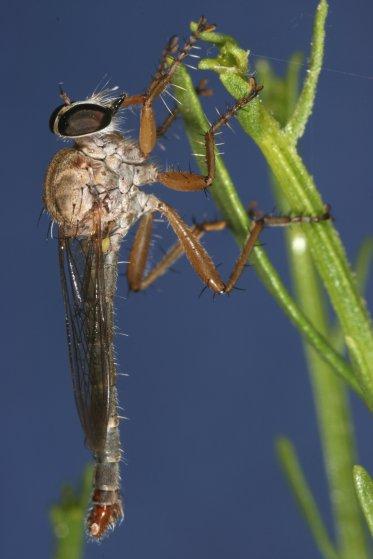 fly 91 - Polacantha - male