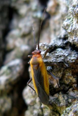 Plant Bug (Miridae) - Lopidea
