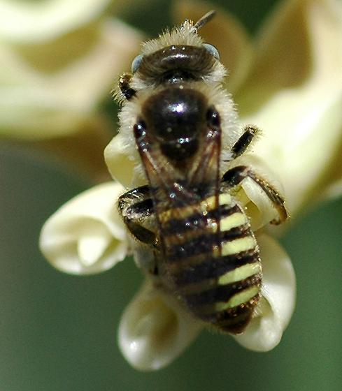 Colletes? - Calliopsis puellae - male