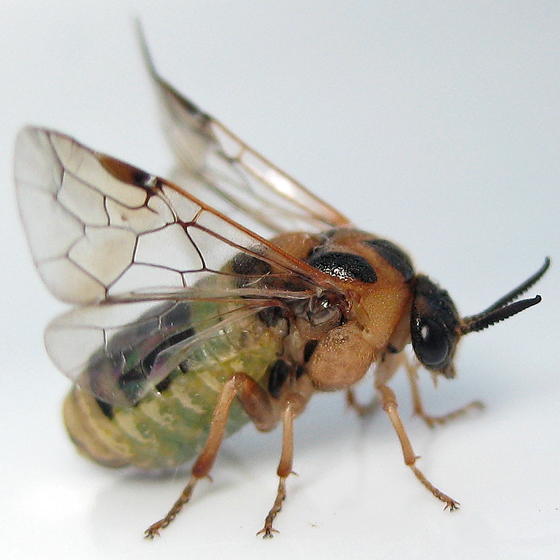 Introduced Pine Sawfly - Diprion similis - female