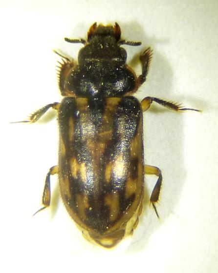 Beetle: Hydrophilidae; seeking subfamily/genus/species? - Heterocerus