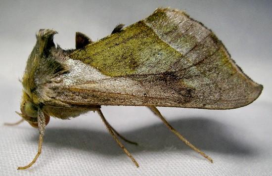moth - Diachrysia balluca