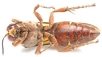 Sphecius grandis - female