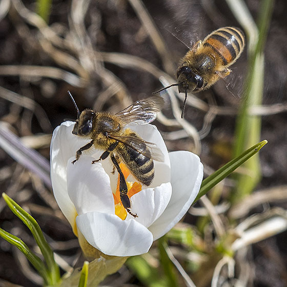 Early bees on crocus - Apis mellifera - female