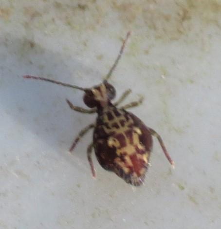 Globular Springtail? - Ptenothrix beta