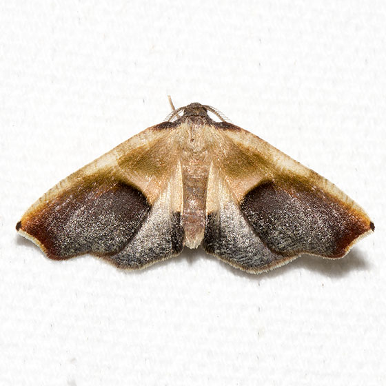Purple Plagodis - Hodges#6841 - Plagodis kuetzingi - male