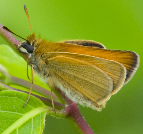 orange and black skipper - Thymelicus lineola