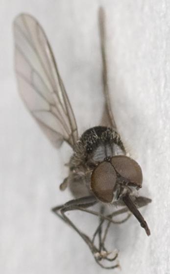 Bee Fly  - Apolysis sigma