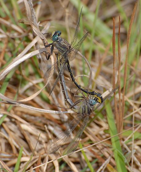 Gomphus westfalli  - Westfall's Clubtail - Phanogomphus westfalli - male - female