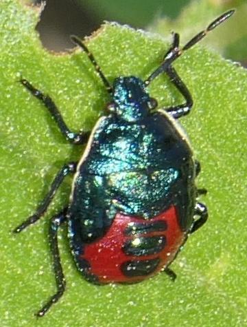 Iridescent Black Pentatomid nymph - Zicrona americana