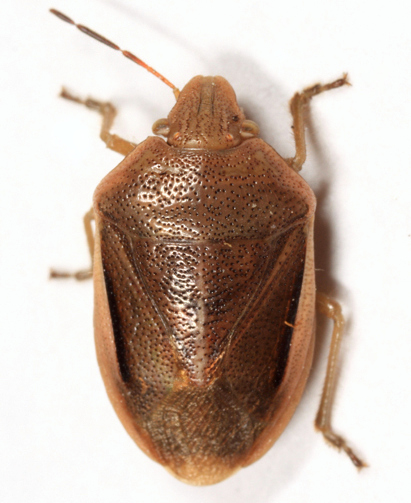 Stink Bug - Chlorochroa saucia