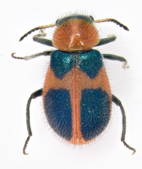 Melyridae, dorsal - Collops quadrimaculatus - female