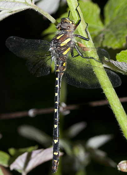 Twin-Spotted Spiketail - Cordulegaster maculata