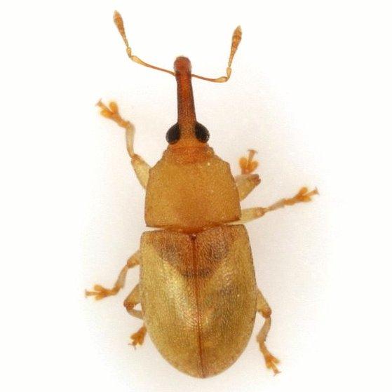 Notolomus sp. 1 - Notolomus