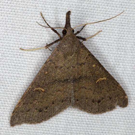 Moth IMG_5335 - Renia adspergillus - female