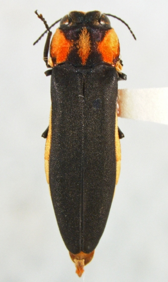 Agrilus benjamini Fisher - Agrilus benjamini - female