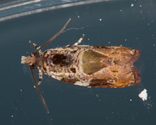 Phyllanthus moth - Cacocharis cymotoma