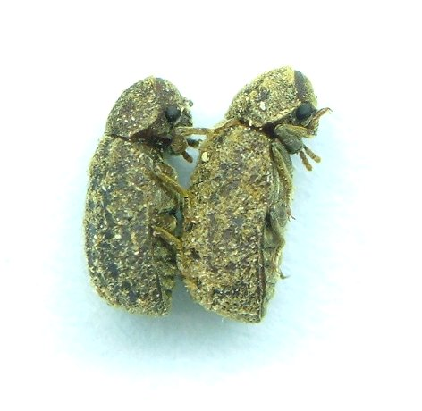 Endecatomus rugosus