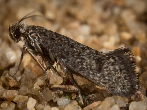 Moth - Tridentaforma fuscoleuca