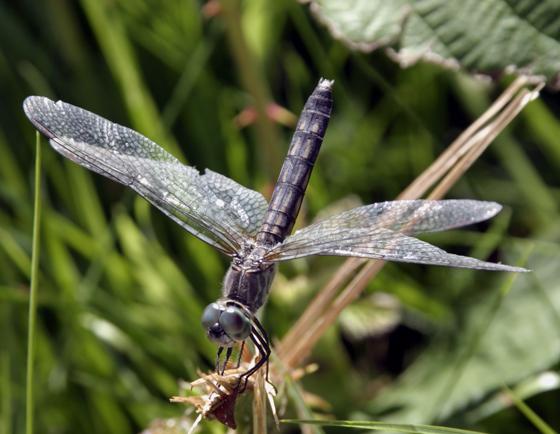Nice bug - Pachydiplax longipennis - female