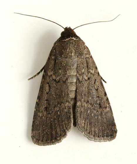 Moth 6 - Spaelotis clandestina