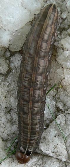 Bronzed Cutworm - Nephelodes minians