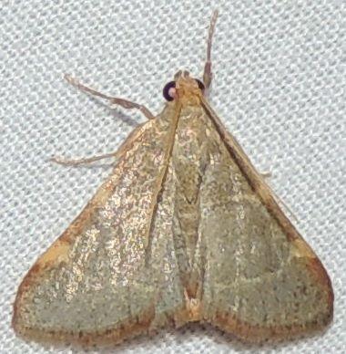Pink-fringed Dolichomia - Hypsopygia binodulalis