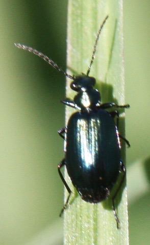 Possible Lebia viridis - Lebia viridis
