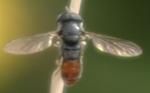 Tiny fly with red on abdomen and white antennae - Paragus haemorrhous