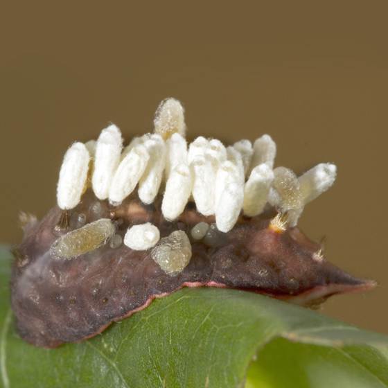 slug caterpllar with wasp larvae? - Cotesia empretiae