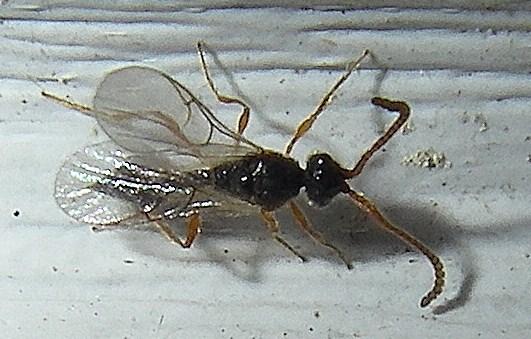 Diapariidae?  Genus? - Aclista