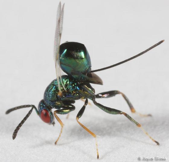 wasp - Torymus - female